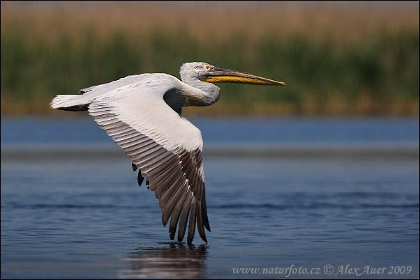 http://www.naturephoto-cz.com/photos/auer/dalmatian-pelican-xxx2z8h6829mw.jpg