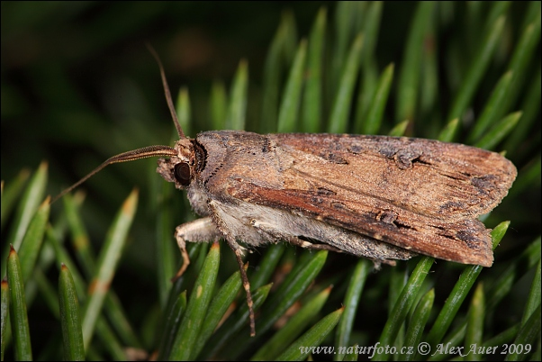 Dark Sword-grass (Agrotis ipsilon)