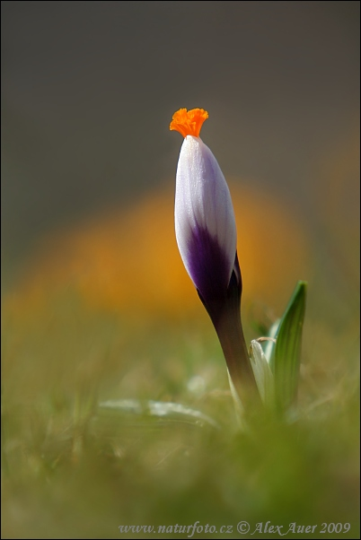 Dutch crocus (Crocus vernus)