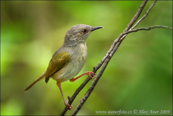 Grey-backed Bleating Warbler (Camaroptera brachyura)