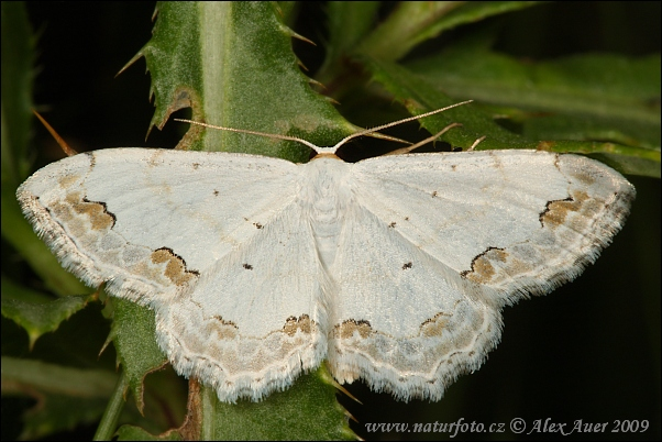 Lace Border (Scopula ornata)