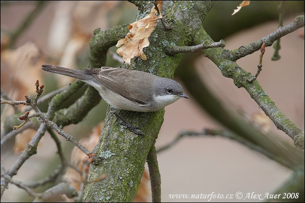 Lesser Whitethroat (Sylvia curruca)
