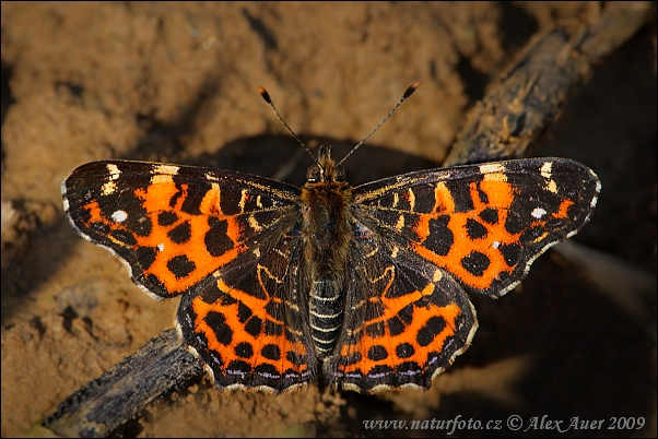 Map Butterfly - spring forn (Araschnia levana levana f. levana)