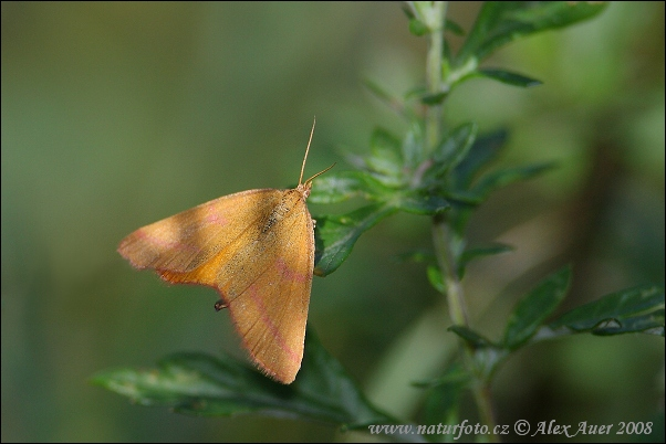 Purple-barred Yellow (Lythria cruentaria)