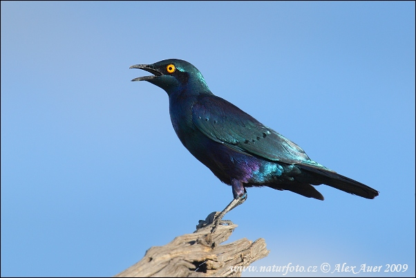 Purple Glossy-Starling (Lamprotornis purpureus)