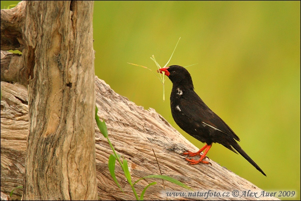 Red-billed Buffalo-Weaver (Bubalornis niger)