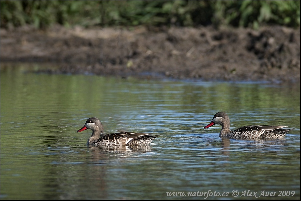 Red-billed Duck (Anas erythrorhyncha)