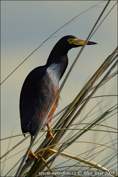 Rufous-bellied Heron (Ardeola rufiventris)