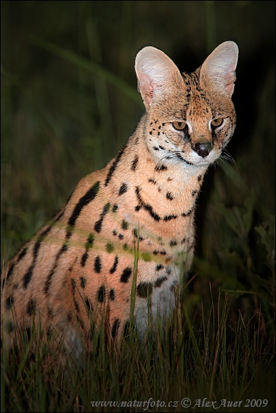 Wild Cats Breed With Domestic