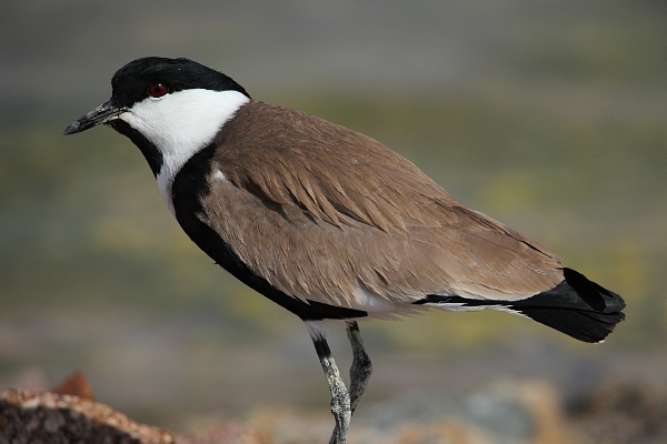 Spur-winged Plover (Hoplopterus spinosus)