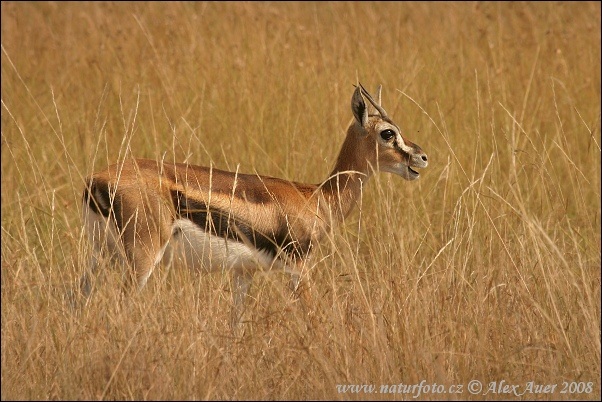 Thomson's Gazelle (Gazella Thomsonii)