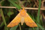 Barred Sallow