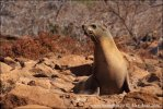 Galapagfos Sea Lion