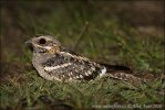 Square tailed Nightjar
