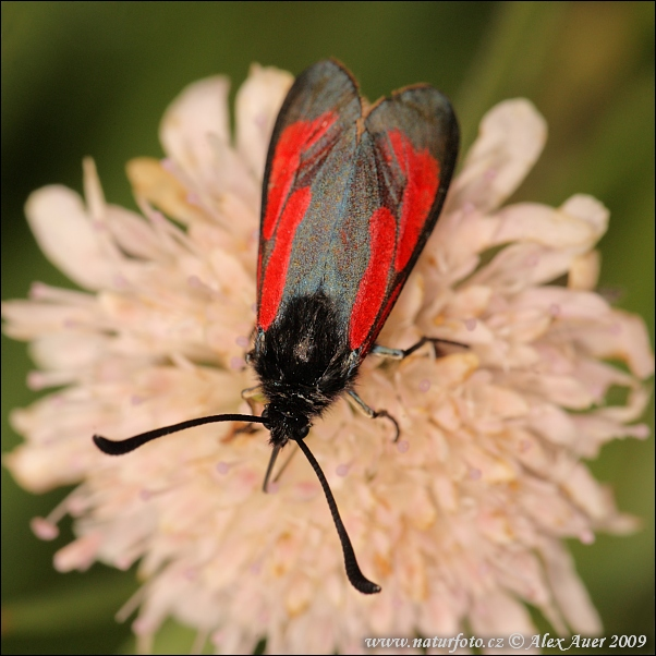 Transparent Burnet (Zygaena purpuralis)