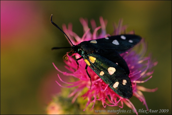 Variable Burnet (Zygaena ephialtes)