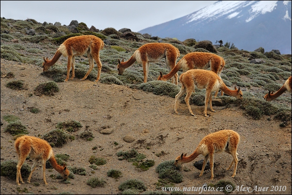 Vicuña zoogdier