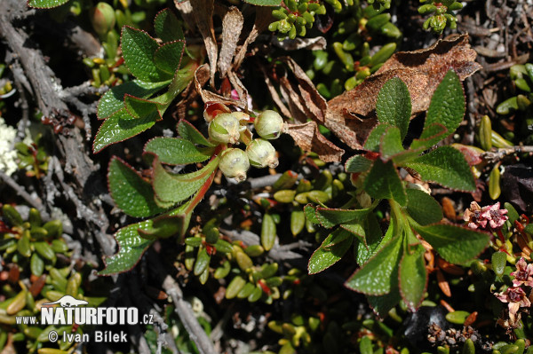 Alpine Bearberry (Arctous alpina)