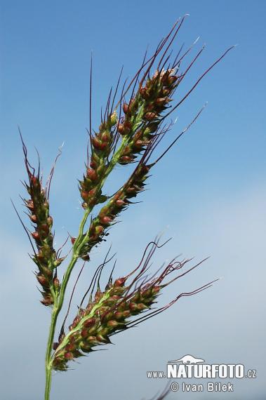 Echinochloa Crus Galli Pictures Barnyard Grass Images