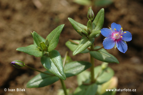 Blue Pimpernel Photos, Blue Pimpernel Images | Photobank NaturePhoto-