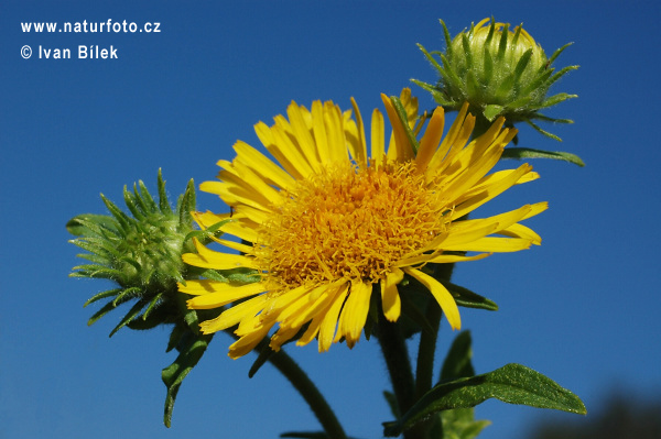 British Yellowhead (Inula britannica)