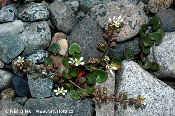 Common Scurvy Grass (Cochlearia officinalis)