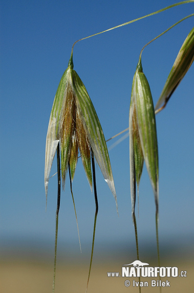 Common Wild Oat (Avena fatua)
