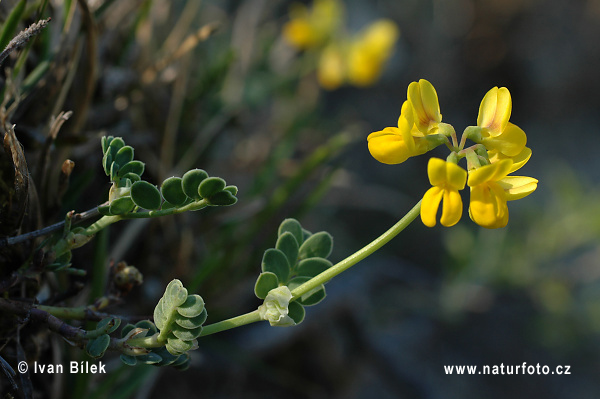 Coronilla vaginalis (Coronilla vaginalis)