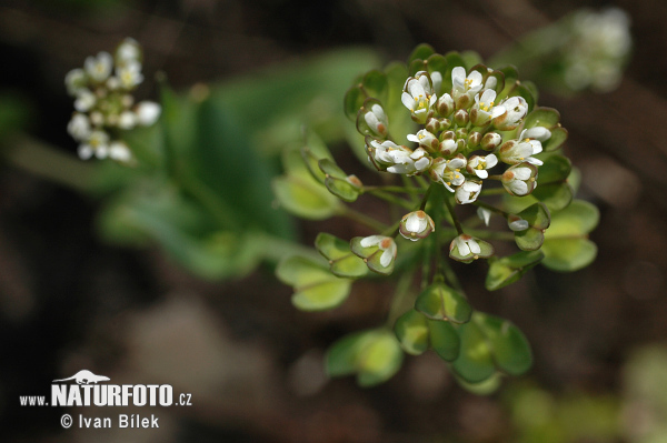 Cotswold Pennycress (Thlaspi perfoliatum)