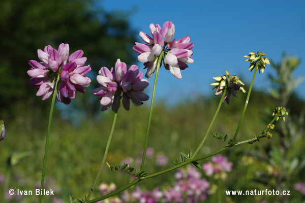 Crown Vetch (Coronilla varia)