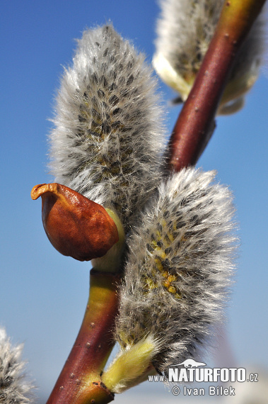 Goat Willow (Salix caprea)