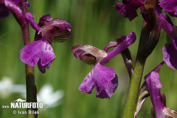 Green-winged Orchid (Orchis morio)