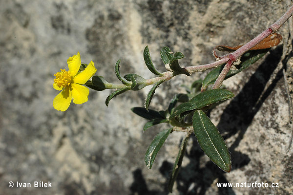 Hoary Rock-rose (Helianthemum canum)