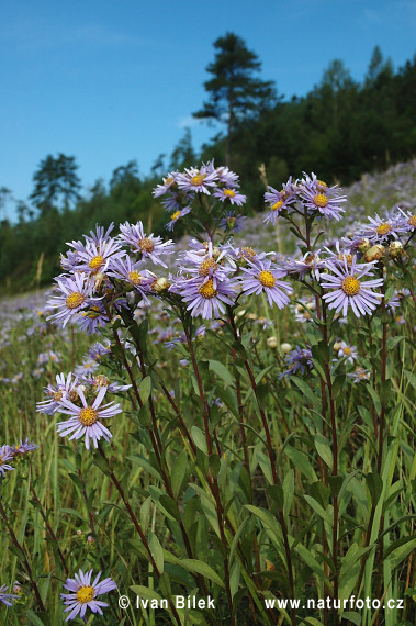 Italian Aster (Aster amellus)