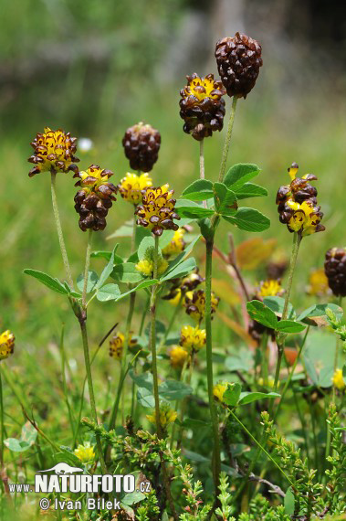 Large Brown Clover