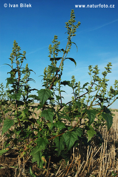 Maple-leaved Goosefoot (Chenopodium hybridum)