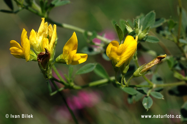 Medicago falcata