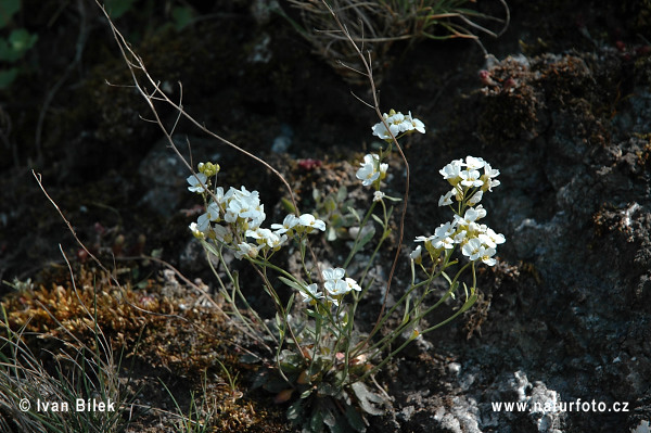 Northern Rock-cress (Cardaminopsis petraea)