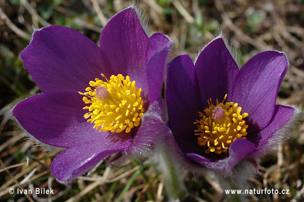 Pasque Flower Pasque Flower