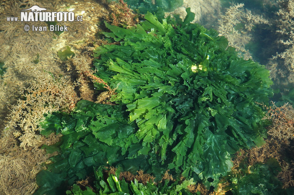 Sea lettuce Photos, Sea lettuce Images | Photobank NaturePhoto-
