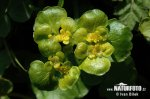 Alternate-leaved Golden Saxifrage