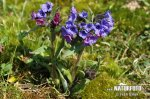 Blue Cowslip Lungwort