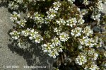 Common Scurvy Grass