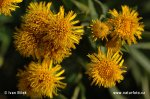 German Inula