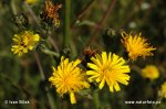 Hawkweed Ox-tongue