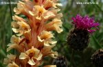 Knapweed Broomrape