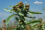 Marsh Cudweed