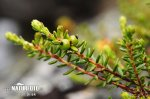 Mountain Crowberry