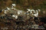 Northern Rock-cress