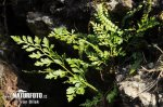 Serpentine Spleenwort